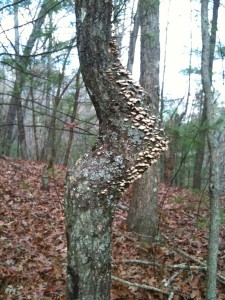 pregnant tree with fungus